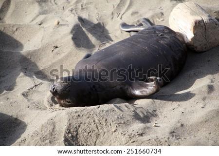 Male, Female and Baby, Elephant Seals enjoy life on the beach in San Simeon California. - stock photo