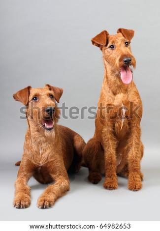 Male, female Irish terrier with a gray background. Not isolated.
