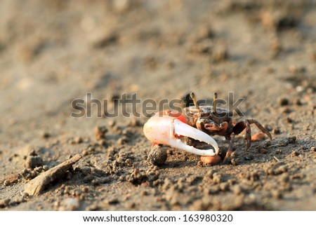 Male fiddler Crab living on mudflat. - stock photo