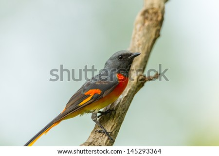 Male Fiery Minivet(Pericrocotus igneus) on the tree in nature