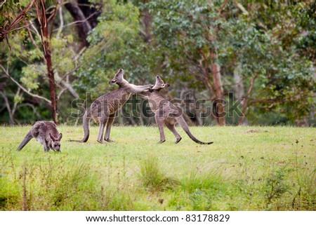 Male fight between Australian kangaroos in nature - stock photo