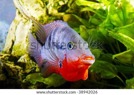 male fish cichlasoma meeki defends roe - stock photo