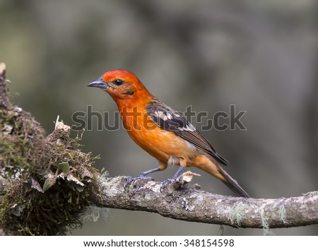 Male Flame-colored Tanager perched on a branch