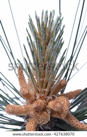 Male flowers of pine isolated on white background - stock photo