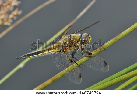 Male Four-spotted Chaser Dragonfly - Libellula quadrimaculata