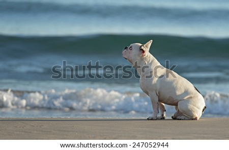 Male french bulldog dog playing at the beach  - stock photo