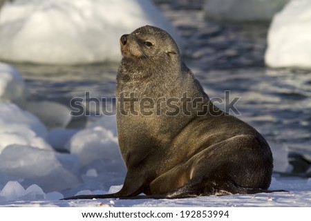 male fur seal resting on a snowy bank of Antarctic islands - stock photo