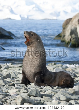 Male fur seals on the beach of the Antarctic Strait. - stock photo