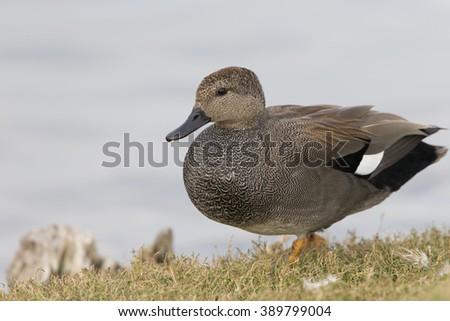Male Gadwall Duck on lake shore - stock photo