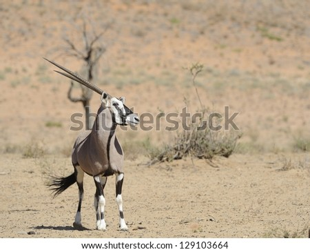 Male Gemsbok (Oryx gazella) in dominance pose at a waterhole in the Kalahari desert, Saamvloeling, Kgalagadi transfrontier park, South Africa