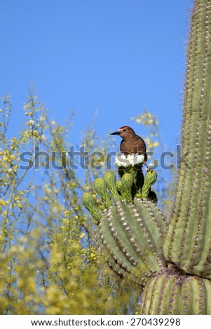 Male Gila Woodpecker on a flowering Giant Saguaro cactus in Arizona's Sonoran Desert - stock photo