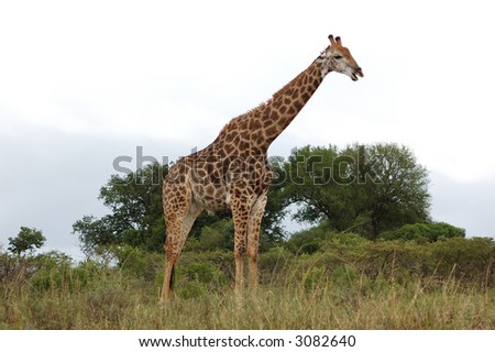 Male giraffe 1 - stock photo