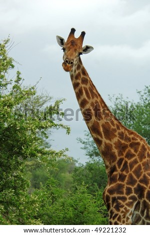 Male Giraffe with battle scars on the neck - stock photo