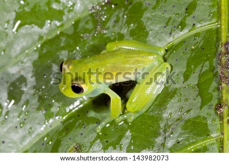 Male Glass Frog (Teratohyla midas) calling on a green leaf in the rain, Ecuador