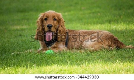 Male Golden Cocker Spaniel, local park, Liverpool, UK