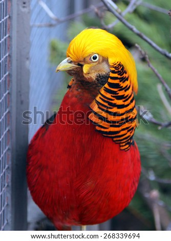 Male Golden or Chinese pheasant (Chrysolophus pictus - stock photo