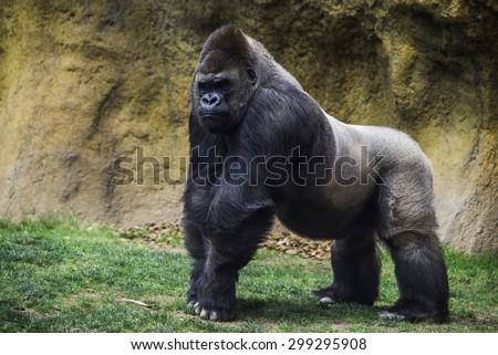 Male gorilla. - stock photo