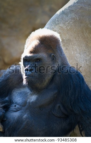 Male Gorilla in captivity at a zoo