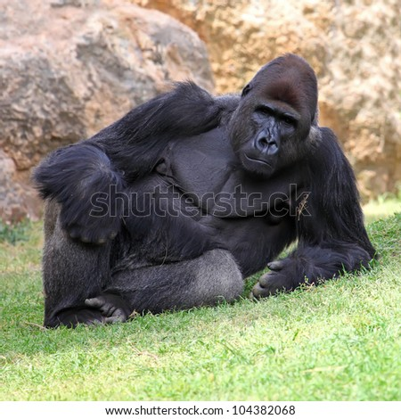 Male Gorilla lying in the grass - stock photo