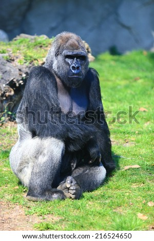 Male gorilla seated on the grass - stock photo