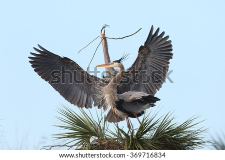 Male Great Blue Heron (Ardea herodias) presenting his mate with a stick for their nest - Melbourne, Florida  - stock photo