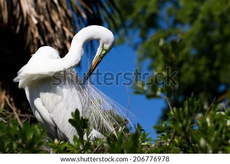 Male Great Egret in breeding plumage preens - stock photo