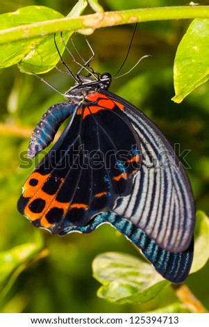 Male great mormon butterfly hanging on tree