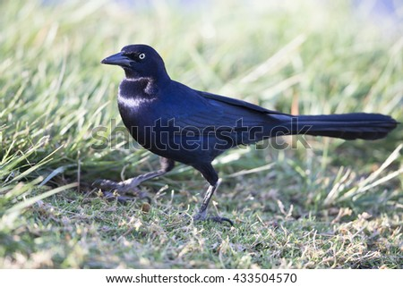 Male Great-tailed Grackle - stock photo