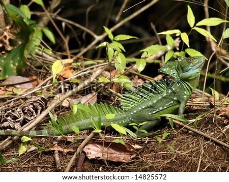 Male Green Basilisk - stock photo