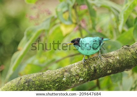 Male Green Honeycreeper perched on a limb in Costa Rica. - stock photo