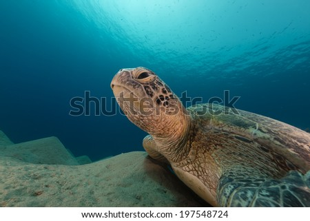 Male green turtle in the Red Sea - stock photo