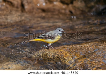 Male grey wagtail singing  in a creek - stock photo