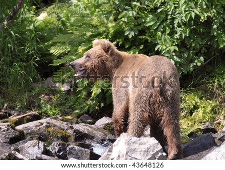 male grizzly at creek