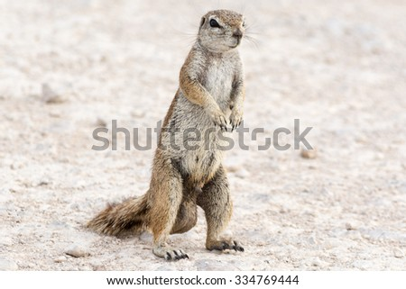 Male ground squirrel. Seen and shot on self drive safari tour through national parks in namibia, africa.