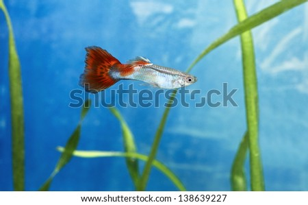 Male guppy fish in blue water