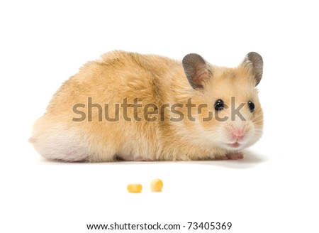 Male hamster and corn seeds on white background. - stock photo