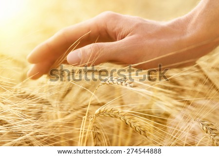 Male hand gently stroking the crop of dry cereal plants in warm soft light on a field, an agriculture shot with emotion - stock photo