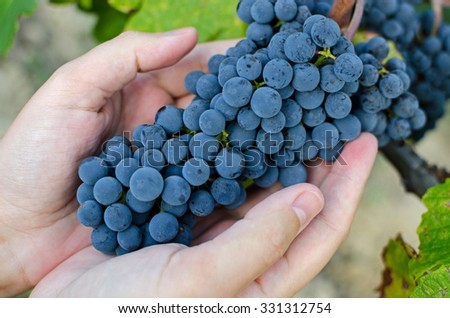 Male hand holding a bunch of ripe red grapes at harvest time. - stock photo