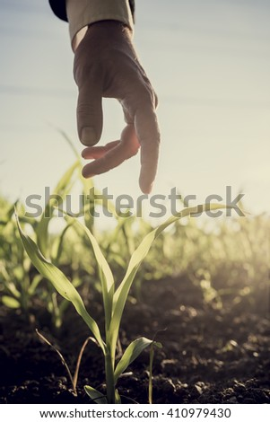 Male hand in an elegant business suit reaching down to touch a young corn plant growing in a field lit with bright sun, retro effect faded look. - stock photo