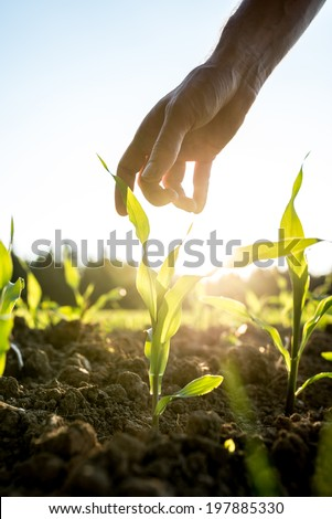 Male hand reaching down to a young maize plant growing in an agricultural field backlit by a bright early morning sunlight with sun flare around the plant and hand. - stock photo