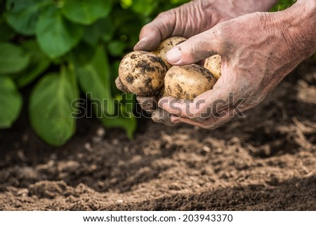 Male hands harvesting fresh organic potatoes from garden - stock photo