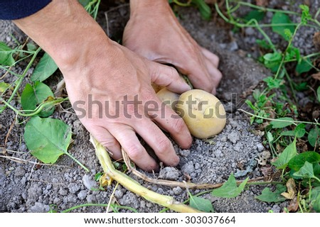 Male hands harvesting fresh organic potatoes from garden