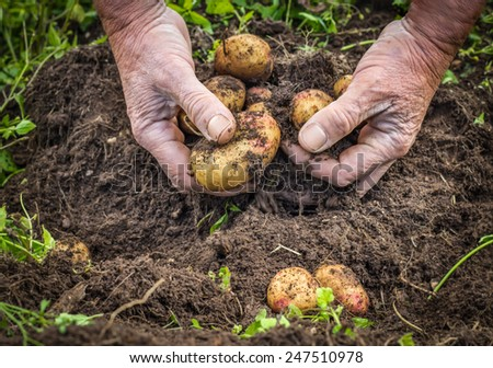Male hands harvesting fresh potatoes from soil  - stock photo