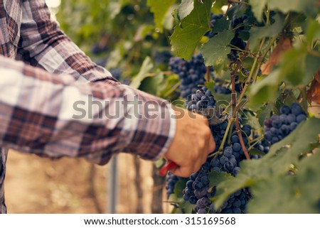 Male hands with garden secateurs and freshly blue grapes at harvest, toned - stock photo