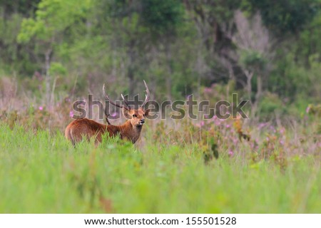 Male hog deer on spring background, Phukhieo Wildlife Sanctuary, Thailand - stock photo
