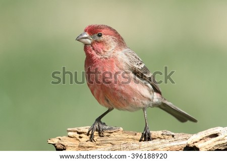 Male House Finch (Carpodacus mexicanus) on a stump in winter - stock photo