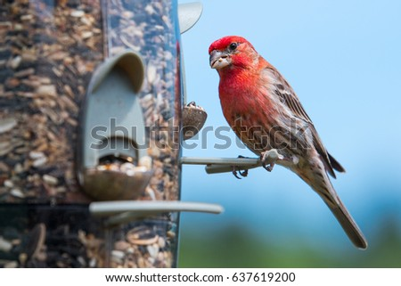 stock-photo-male-house-finch-haemorhous-