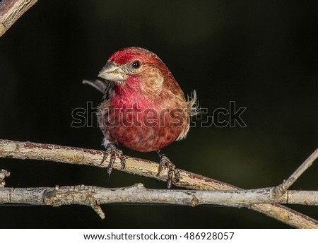 Male House Finch (Haemorhous mexicanus) perched on tree branch with dark background and copy space.