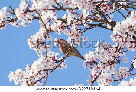 male house finch standing on cherry flower tree  - stock photo