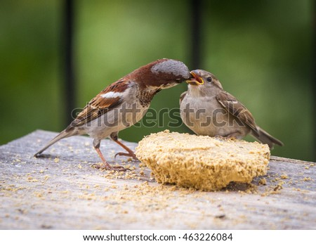 Male house sparrow feeding a fledgling on a bird table.